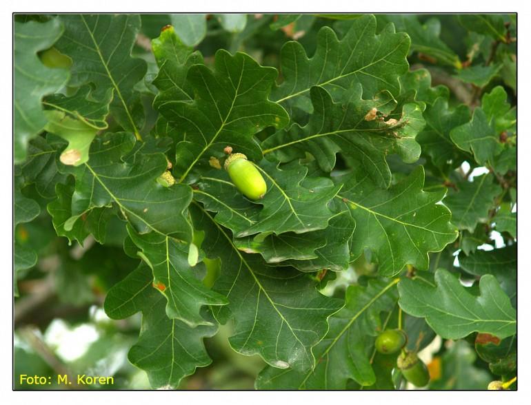 Dob in graden (Quercus robur L. et Quercus petraea Liebl)