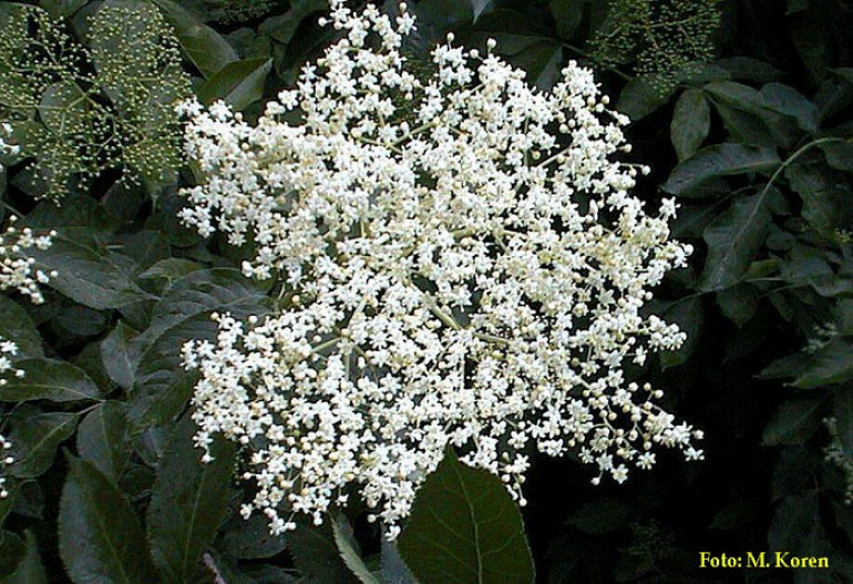 Bezeg, črni (Sambucus nigra)