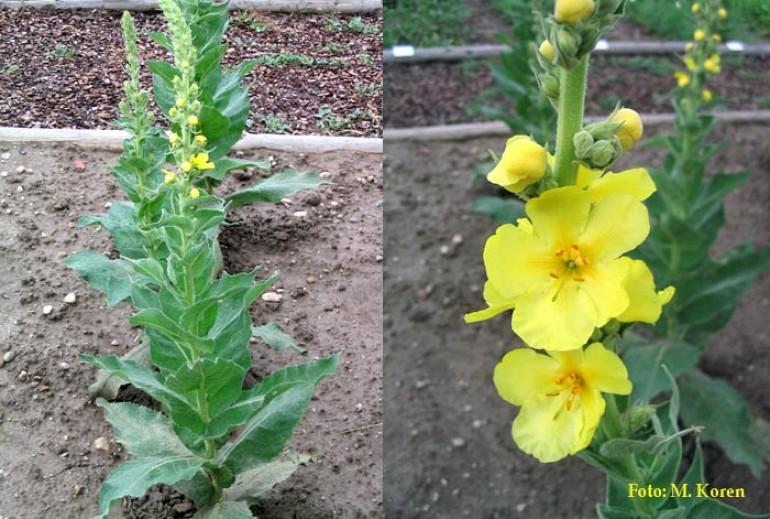 Lučnik, velecvetni (Verbascum thapsiforme); Lučnik, navadni (V. phlomoides ); Lučnik, drobnocvetni  (V. thapsus)