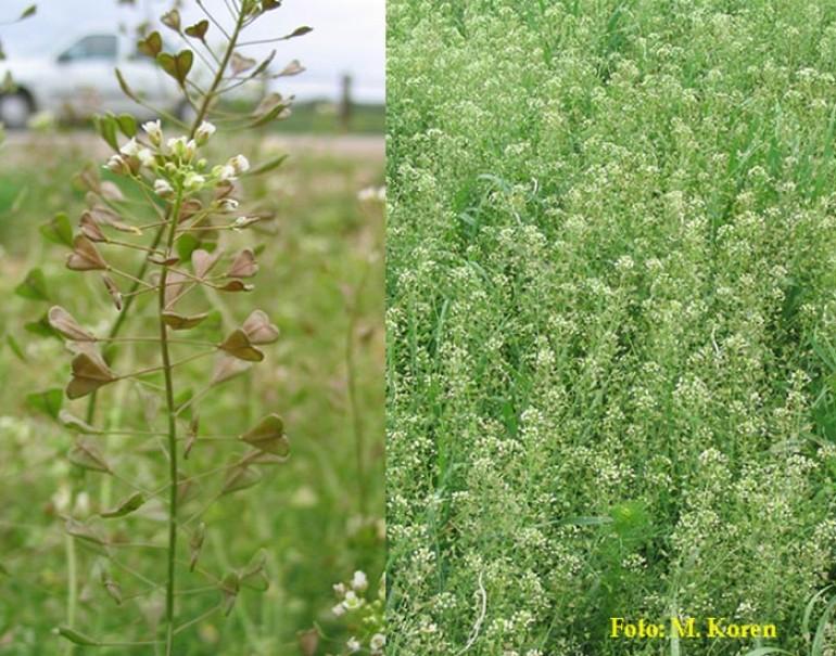 Plešec, navadni (Capsella bursa-pastoris)