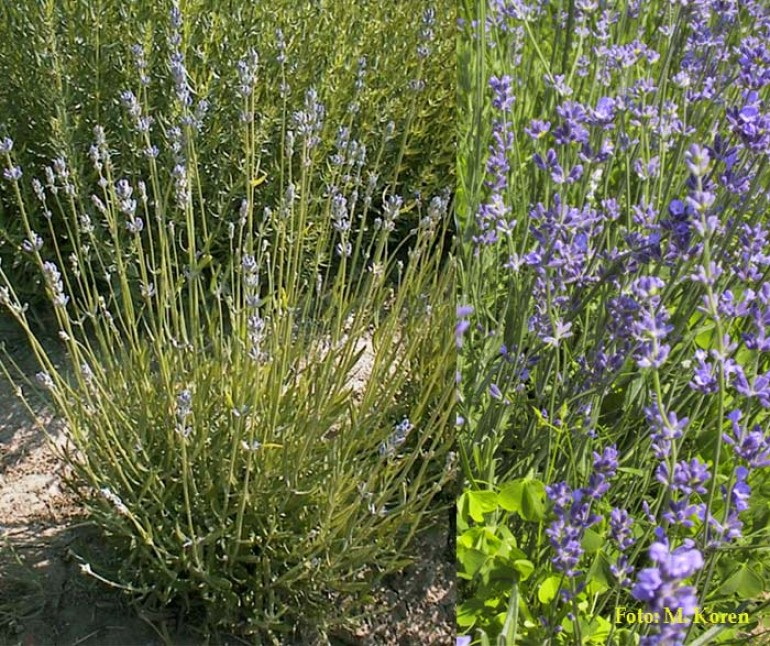 Sivka, prava (Lavandula angustifolia)