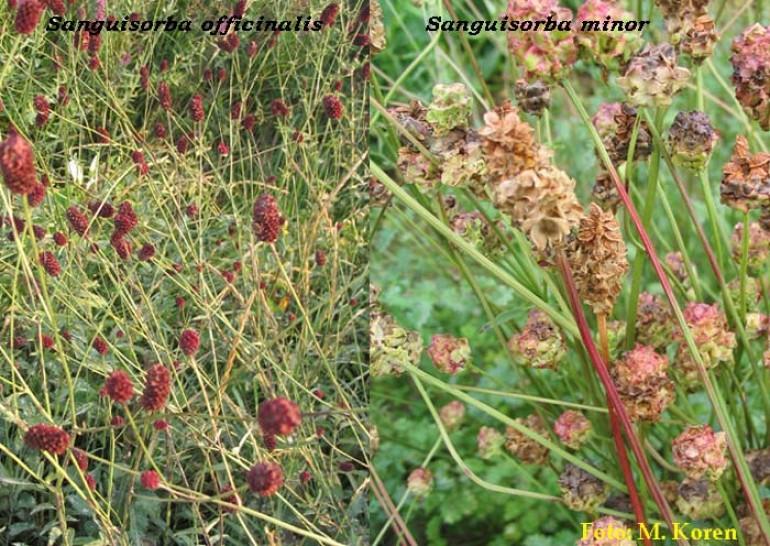 Strašnica,  zdravilna (Sanguisorba officinalis)