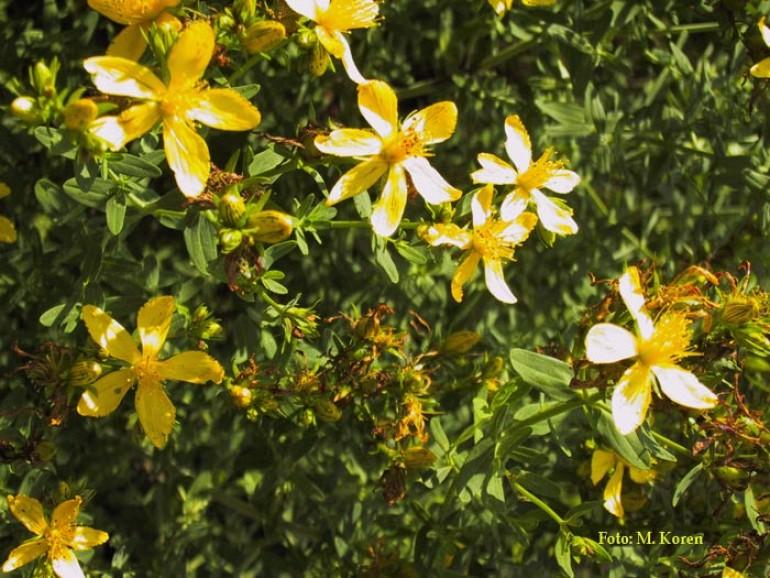 Šentjanževka (Hypericum perforatum)
