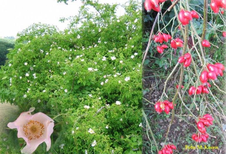 Šipek, navadni ali Divja roža (Rosa canina)