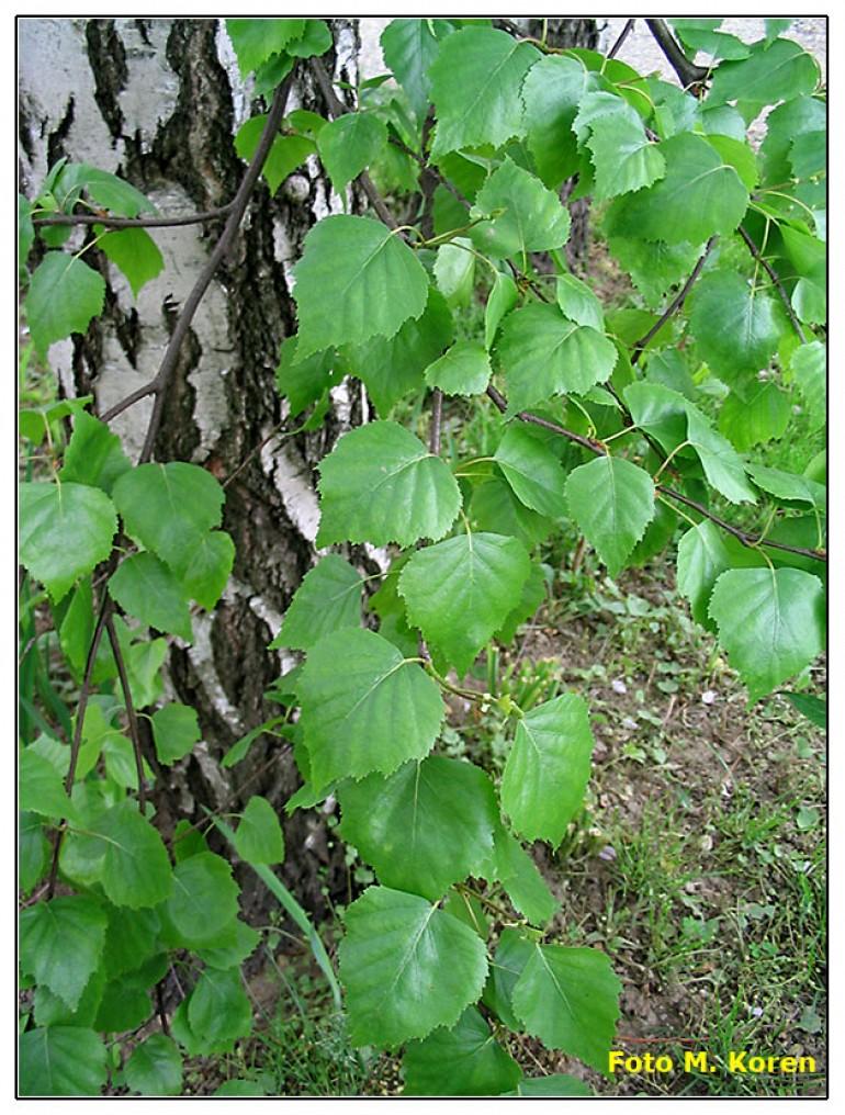 Navadna breza in puhasta breza (Betula pendula et Betula pubescens)
