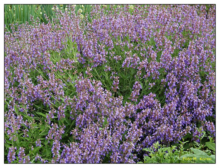 Žajbelj (Salvia officinalis)