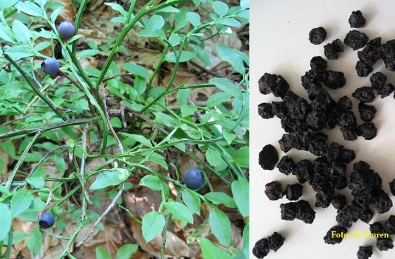 Borovnica (Vaccinium myrtillus) I