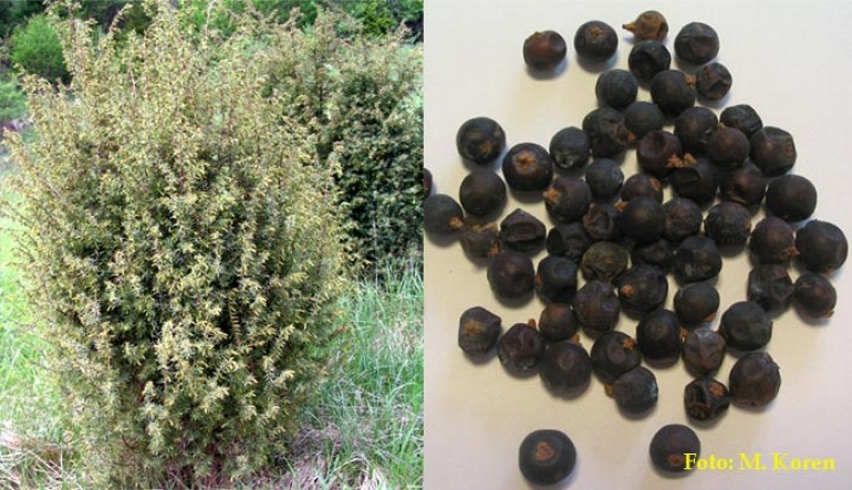 Brin, navadni (Juniperus communis)