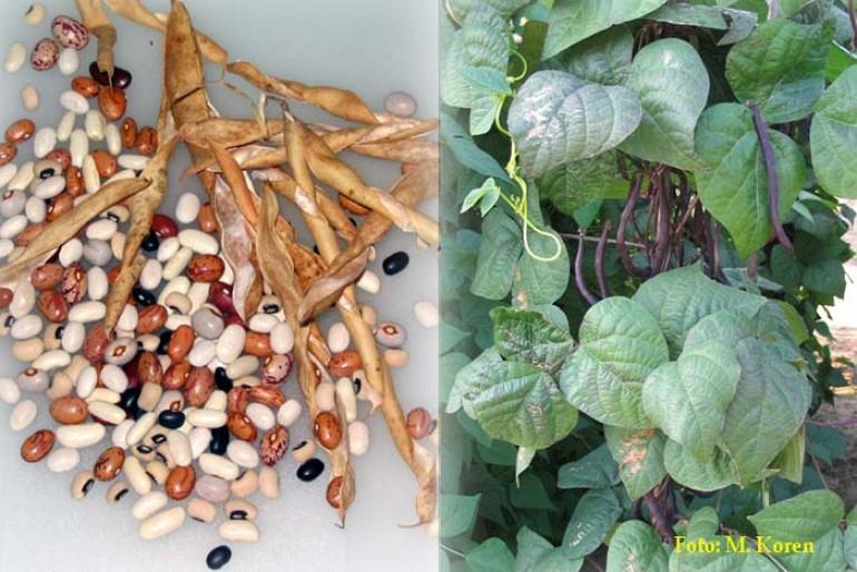 Fižol, navadni (Phaseolus vulgaris)