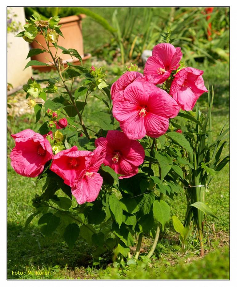 Hibiskus ali oslez (Hibiscus sabdariffa var. ruber)