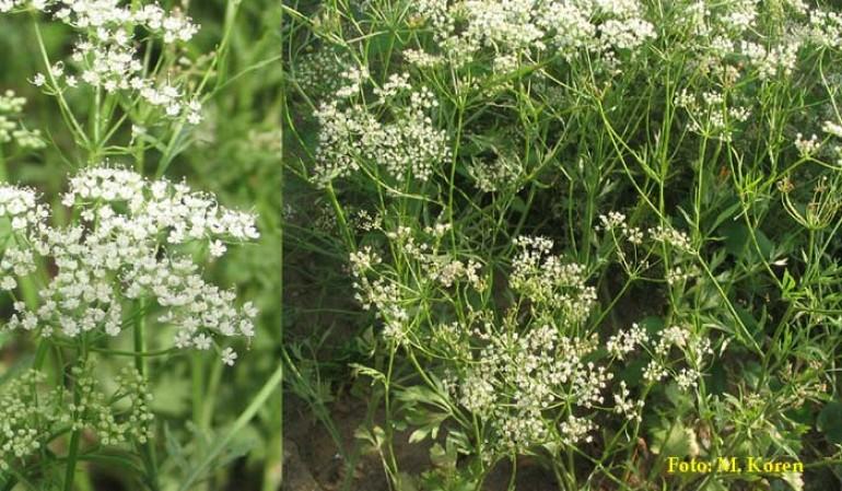 Janež, vrtni (Pimpinella anisum)