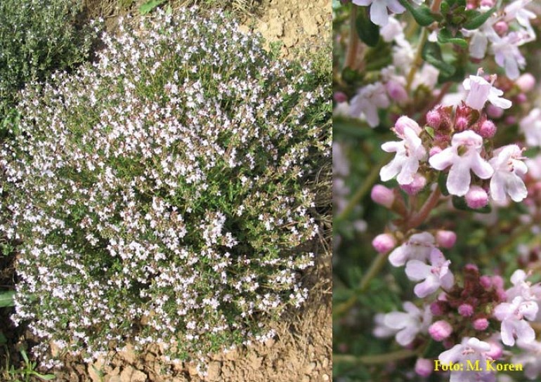 Materina dušica, vrtna ali Timijan, vrtni (Thymus vulgaris)