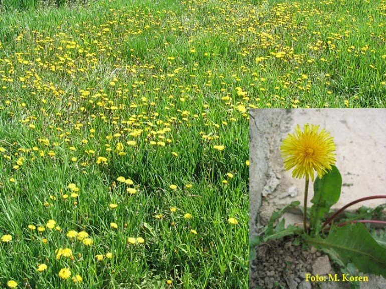 Regrat, navadni (Taraxacum officinale)