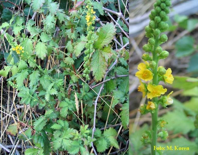 Repik, navadni ali Mala torica (Agrimonia eupatoria)