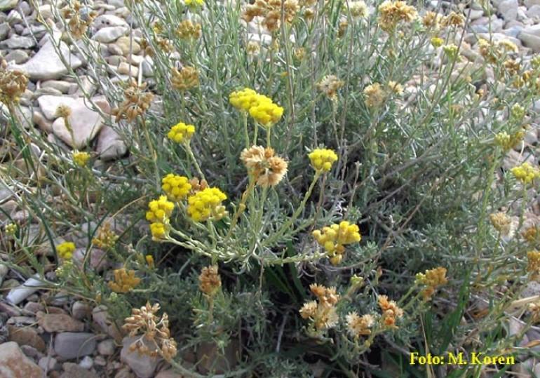 Smilj, peščeni (Helichrysum arenarium)