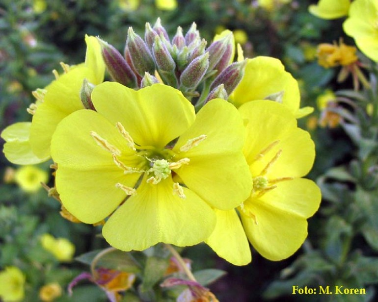 Svetlin, dvoletni (Oenothera biennis)