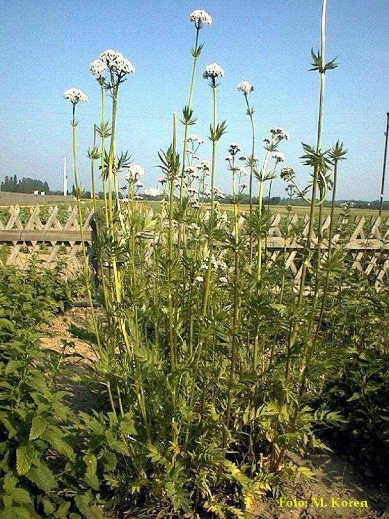 Špajka, zdravilna ali Baldrijan (Valeriana officinalis)