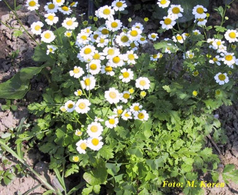 Vratič, beli (Tanacetum parthenium)